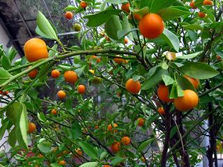 Oranges in the Oxford Botanical Gardens