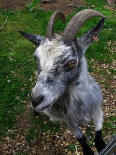Oxford goat