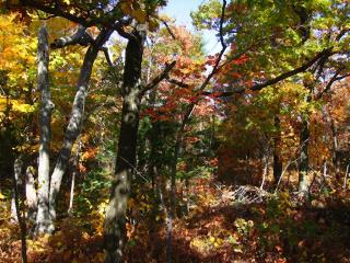 Gatineau Park trees