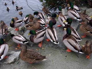 North Vancouver ducks