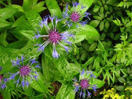 Spiky blue flowers