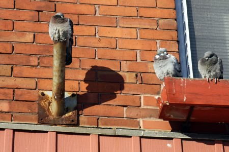Winter pigeons and bricks