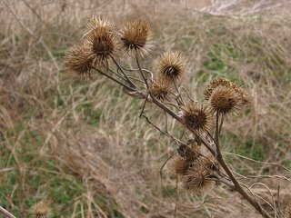Burdock near the Isis