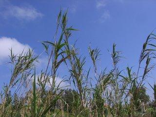 Maltese grain