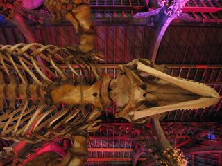 Orca skeleton