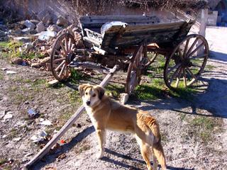 Dog in Goreme