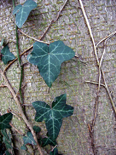 Vine and bark