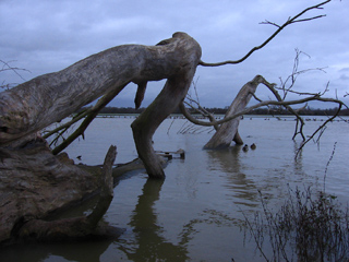 Fallen tree in flooded Port Meadow