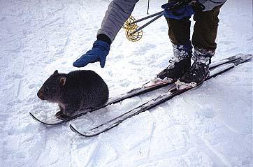 http://www.pcug.org.au/~alanlevy/Thumbnails/Images/Skiing/Wombat.JPG