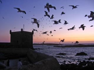 Atlantic gulls