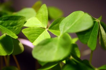 Shamrock leaves