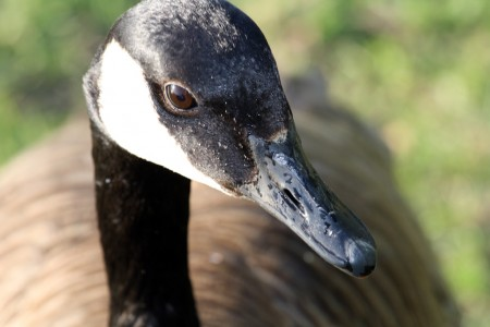 Canadian Goose (Branta canadensis), near the Ottawa River