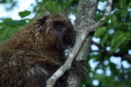 Porcupine (Erethizon dorsatum) in a tree, near the Ottawa River