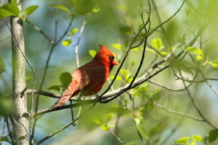 Cardinal - near Mud Lake, Ottawa