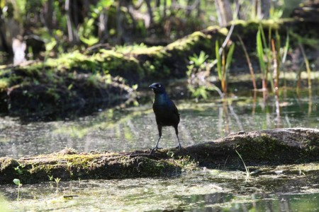 Common Grackle (Quiscalus quiscula), near Mud Lake, Ottawa