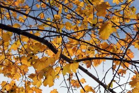 Yellow backlit leaves with gradiant sky