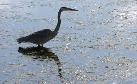 Heron in Dow's Lake, Ottawa
