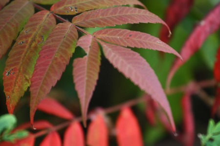 Narrow red leaves
