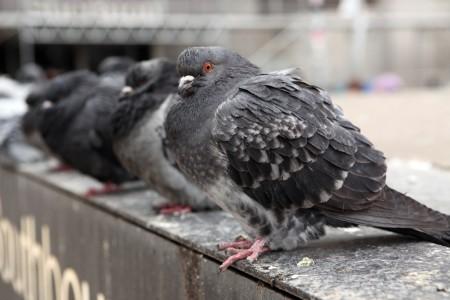 Cold Toronto pigeons