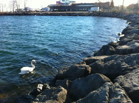 Swan on the Toronto waterfront