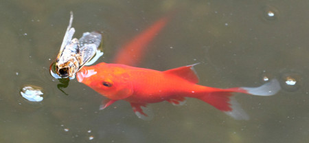 Fish attempting to eat insect