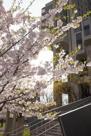 Blossoms and Robarts
